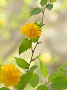 健研工房の八重咲きヤマブキ